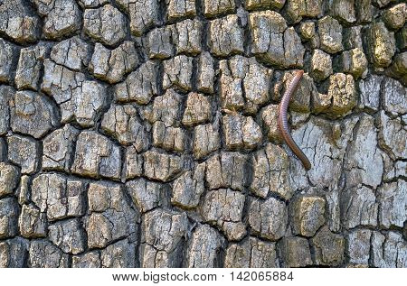 Detail of a rough tree bark and one strayed earthworm
