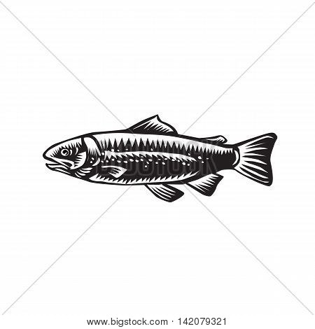 Illustration of a spotted sea trout fish viewed from the side set on isolated white background done in retro woodcut style.