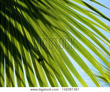 Sun shining through green palm fronds with blue sky