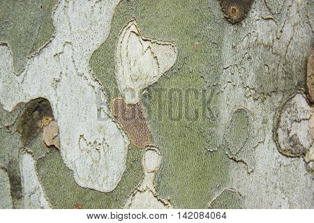 Sycamore tree bark close up abstract background texture