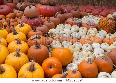 Autumn pumpkin thanksgiving background. Pumpkins at the farm