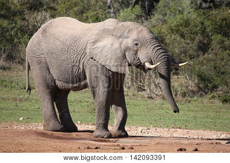 Large male African elephant drinking water with trunk