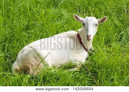 White goat on green fresh grass. Pastoral views and rural animal grazing. Young goat in the meadow. Cattle in pasture grazing. Horned cloven-hoofed livestock on ranch. Goat's milk is good for health.