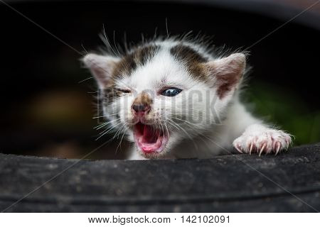 Newly Born Cute Little White Baby Cat With Open Mouth Without Teeth
