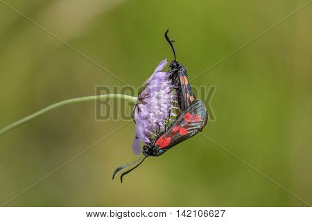 Six-spot Burnet moths (Zygaena filipendulae) mating on Small Scabious (Scabiosa columbaria) flower.