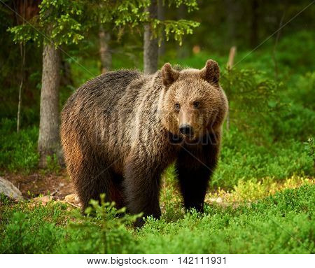 Beautiful and wild brown bear in the green Finnish taiga
