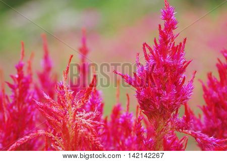 big close up red wool flowers or celosia