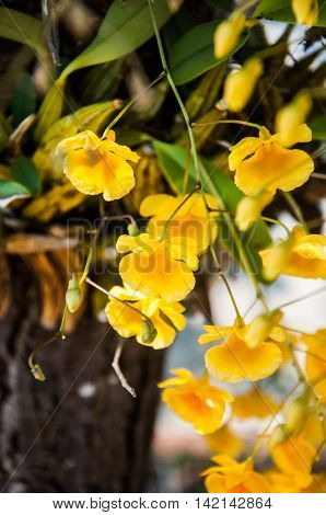 Orchid Species Yellow Dendrobium lindleyi flower in nature