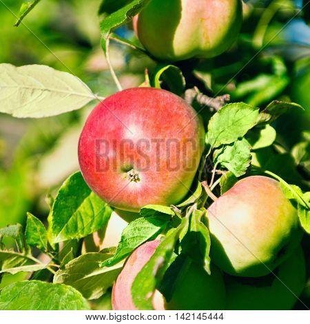 Jonathan apple variety, , color image, horizontaal image,