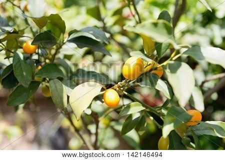 Kumquat tree on farm, , color image, horizontaal image,