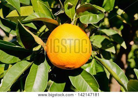 Orange on tree, , color image, horizontaal image,