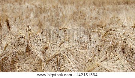 Yellow Ripe Wheat Ears In The Field In Summer