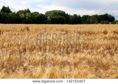 Yellow Ripe Wheat Ears