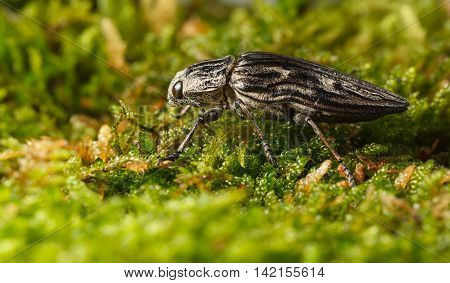 Macro low angle side view of borer beetle (Buprestis mariana) over green forest floor