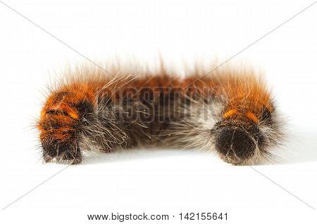Bushy Rolled Up Caterpillar