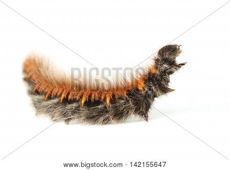 Shaggy Vermin Caterpillar