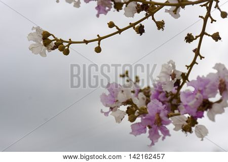 Lagerstroemia pink and white or Tabak on gray sky background.flower from thailand or background nature or background flower and tree.
