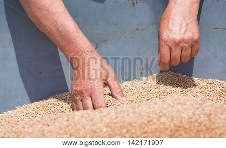 Farmer looking at wheat grain in trailer after harvest