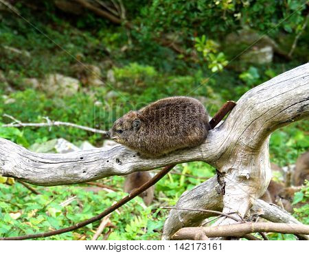 A Rock Hyrax on a tree trunk in the Tsitsikamma National Park in South Africa