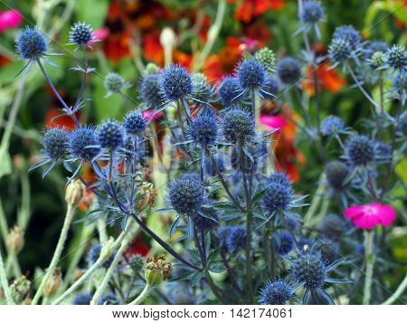 sea holly plant in a summer garden