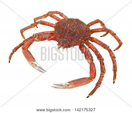 a european spider crab in white back