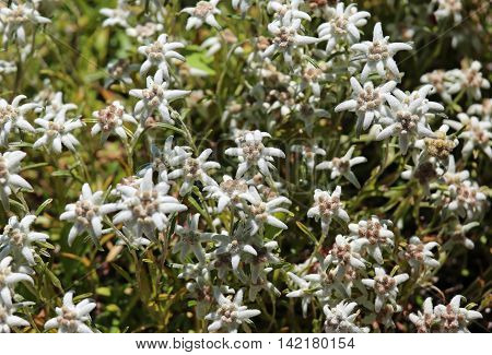 Many Edelweiss Flowers On The Meadow