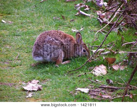 Brown rabbit crouches on patch of green grass next to blackberry brambles. Several dead leaves lay scattered on ground. poster