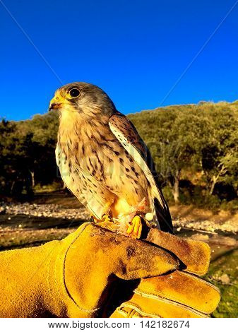 Falco tinnunculus, falconry,  common kestrel,  captive birds