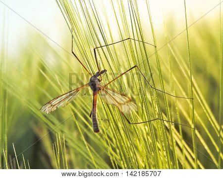 Crane fly in a sunny wheat field