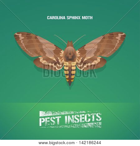 Realistic vector illustration of insect Manduca sexta Carolina sphinx moth. Pest insect of tobacco farmland. Design element for insecticide poster brochure article
