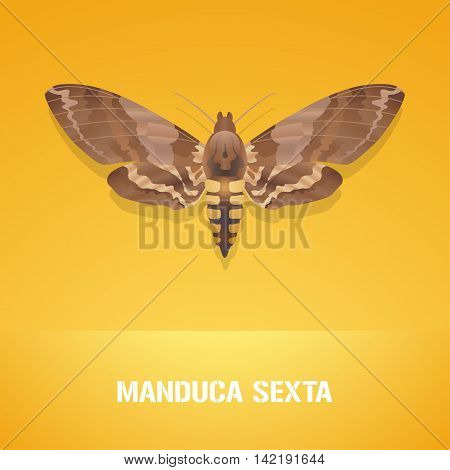 Realistic vector illustration of insect Manduca sexta Carolina sphinx moth. Pest insect of tobacco farmland. Design element with Latin sign for insecticide poster brochure article