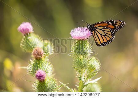 Monarch butterfly - Danaus plexippus, feeding on a common thistles flower nectar