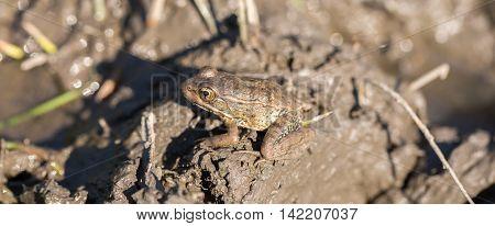 American Bullfrog - Lithobates catesbeianus. Santa Clara County, California, USA. Bullfrog is camouflaged in a muddy pond.