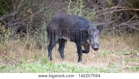 Wild Boar (Sus scrofa) in alert; Santa Clara County, California, USA. Common name: Wild boar, wild hog, feral pig, feral hog, Old World swine, razorback, Eurasian wild boar, Russian wild boar poster