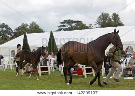 WEEDON, UK - AUGUST 27: Handlers run both horse and foal past the judges in one of the many equine competitions held in the main arena at the Bucks County show on August 27, 2015 in Weedon