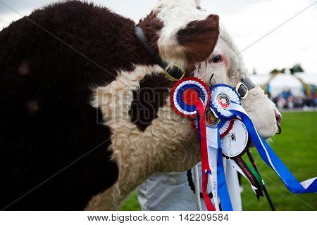 WEEDON, UK - AUGUST 27: A Champion Hereford bullock is held in front of the judges and public during the Grand Livestock parade at the Bucks County show on August 27, 2015 in Weedon