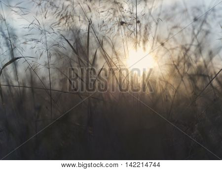 Grass and sun (backlight) in the evening (abstract background)