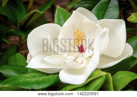 The beautiful white flower of the Magnolia Grandiflora, or Southern Magnolia.