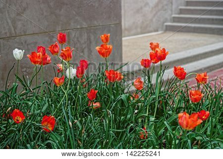 Red Tulip Flower Bed In Washington Dc