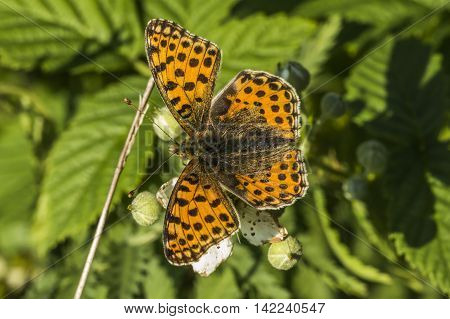 Queen Of Spain Fritillary(issoria Lathonia)