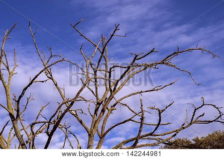 Branches of the dried lifeless tree against the sky