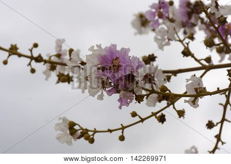 Lagerstroemia pink and white or Tabak on gray sky background.flower from thailand or background nature or background flower and tree.01