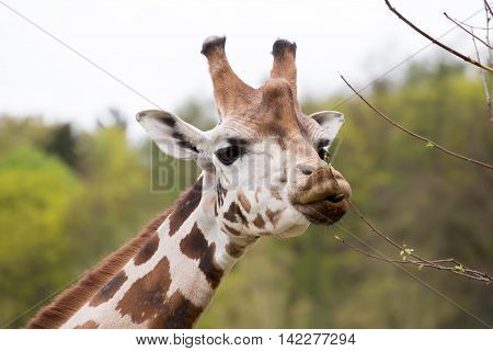 Young Cute Giraffe Grazing