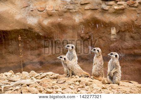 Family Of Meerkat Or Suricate