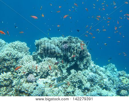 colorful coral reef with shoal of fishes scalefin anthias in tropical sea