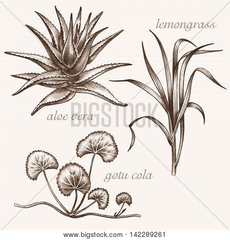 Set of vector images of medicinal plants. Biological additives are. Healthy lifestyle. Aloe vera lemongrass gotu cola.