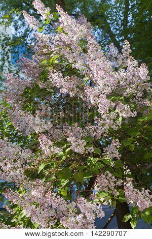Syringa vulgaris lilac or common lilac . Syringa vulgaris lilac or common lilac .