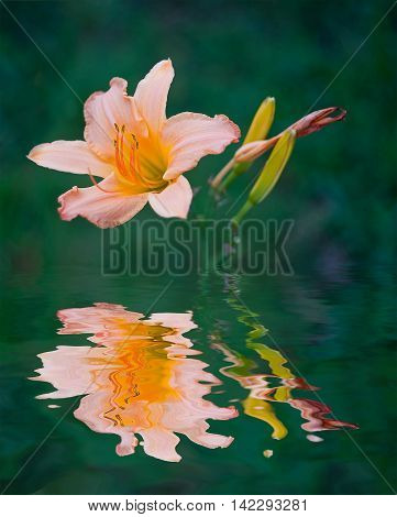 lilly reflection in pond. lilly reflection in pond.