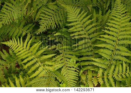 Green Fern Leaves Texture