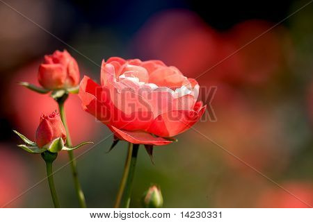 close up rose with nice color for background or others purpose use poster
